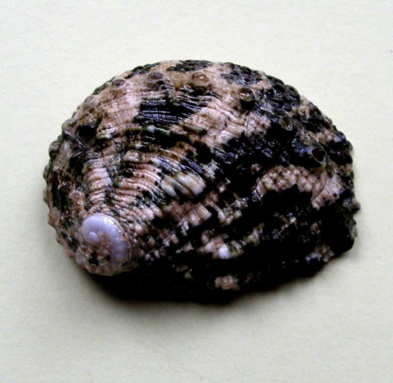 Haliotis varia  -  Linnaeus, 1758 Halvari11