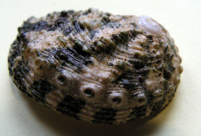 Haliotis varia  -  Linnaeus, 1758 Halvari14