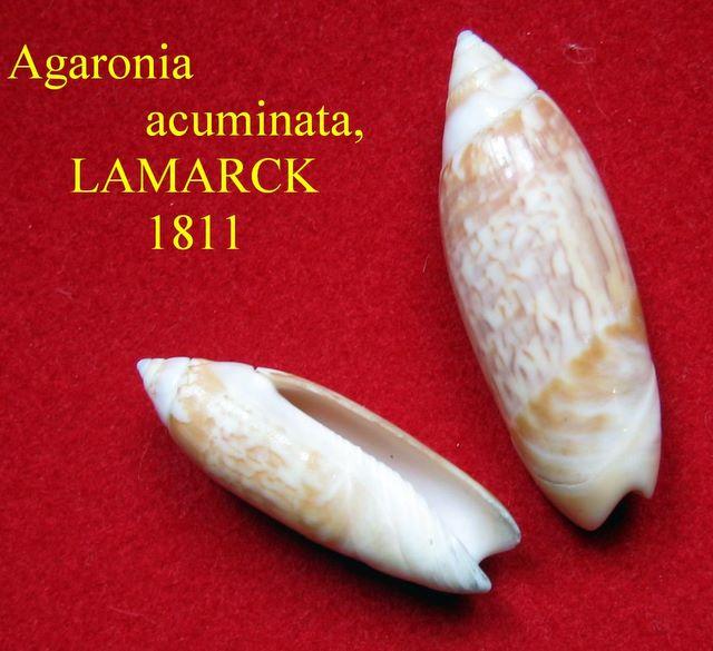 Agaronia acuminata Lamarck 1811 Agacum12