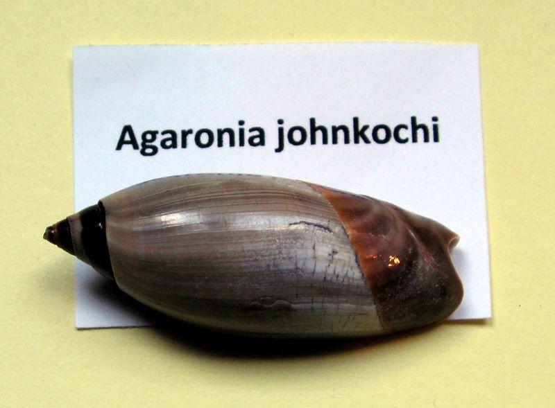 Agaronia johnkochi - Voskuil, 1990 Agajohn11