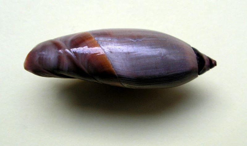 Agaronia johnkochi - Voskuil, 1990 Agajohn15