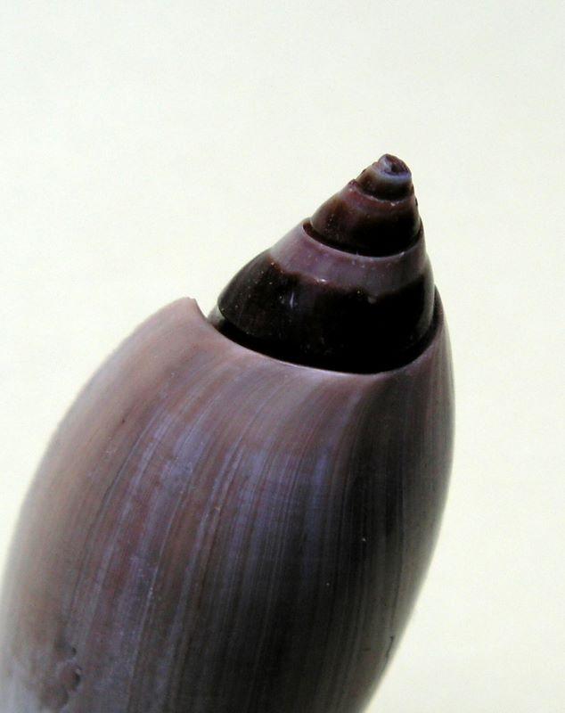 Agaronia johnkochi - Voskuil, 1990 Agajohn17