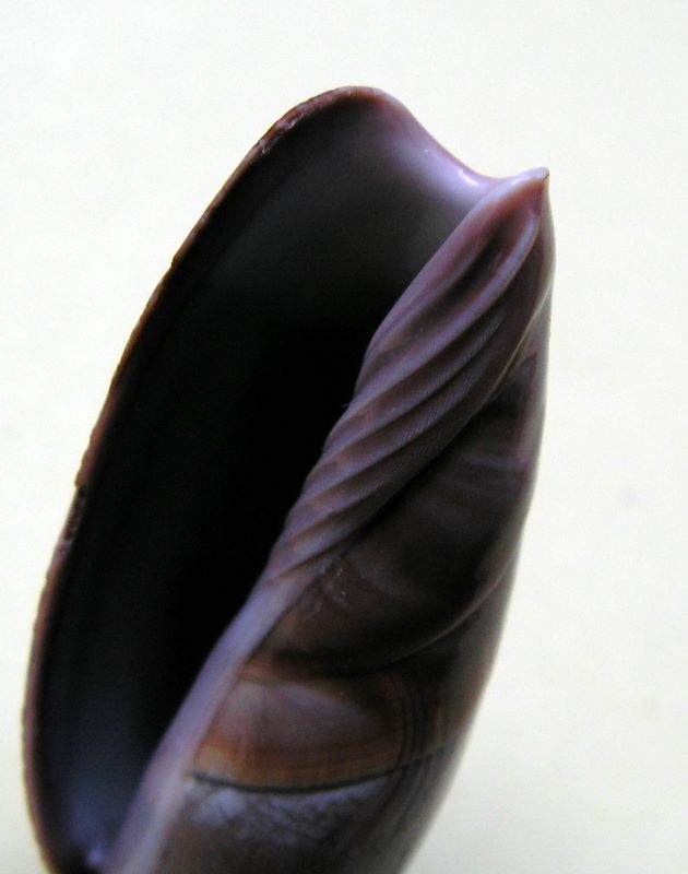Agaronia johnkochi - Voskuil, 1990 Agajohn_0