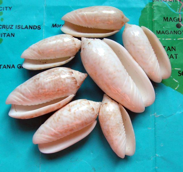 Americoliva reticularis reticularis (Lamarck, 1811) Oliret24