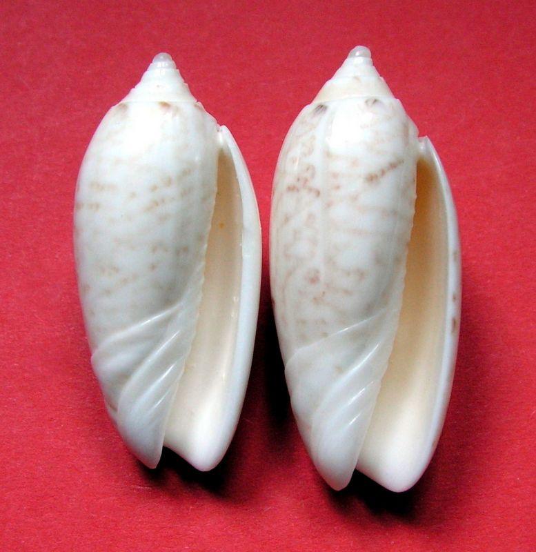 Americoliva fulgurator bullata (Marrat, 1871) Olifulbul13