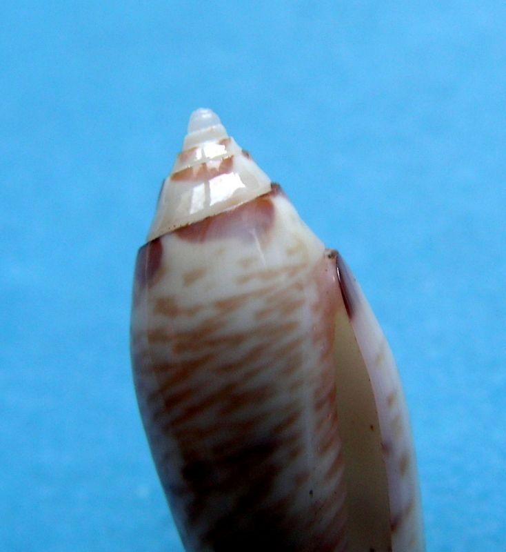 Pas paxillus mais quoi ?   Oliva ( Acutoliva ) australis Duclos,1835 Olipaxil17