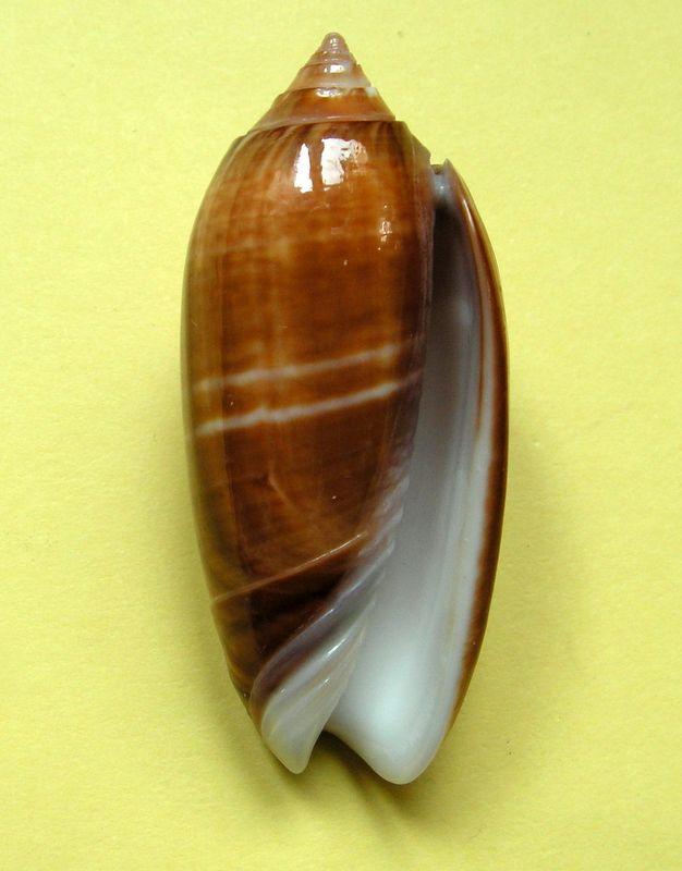Americoliva bifasciata f. pattersoni (Clench, 1945) voir Americoliva bifasciata - Küster, 1878 Olibifpat12