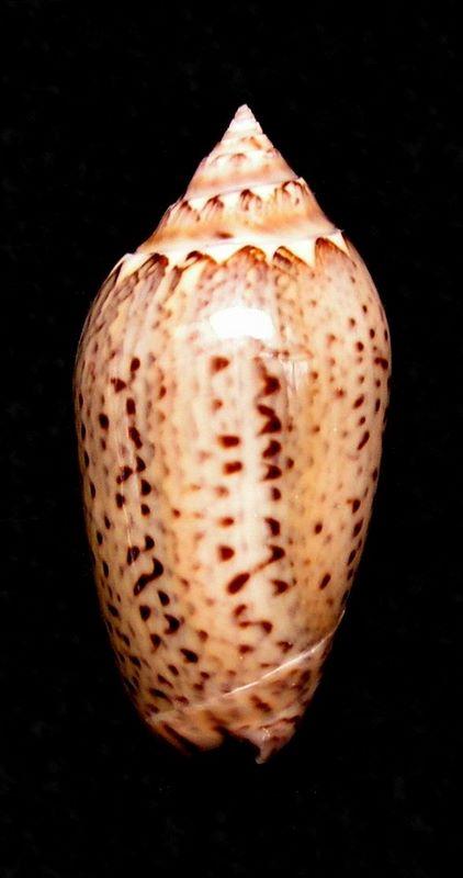 Americoliva polpasta (Duclos, 1833) Olipolpas11