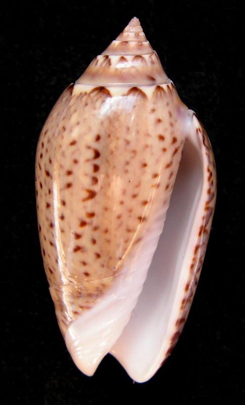 Americoliva polpasta (Duclos, 1833) Olipolpas12
