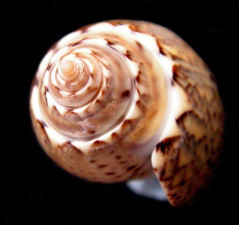 Americoliva polpasta (Duclos, 1833) Olipolpas14