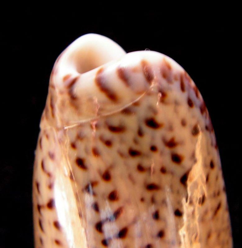 Americoliva polpasta (Duclos, 1833) Olipolpas17