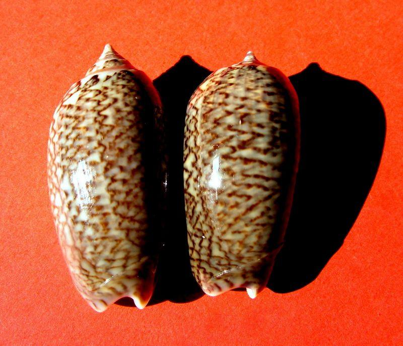 Americoliva violacea (Marrat, 1867) Oliviola10