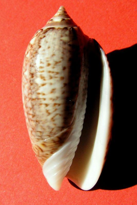 Americoliva violacea (Marrat, 1867) Oliviola13
