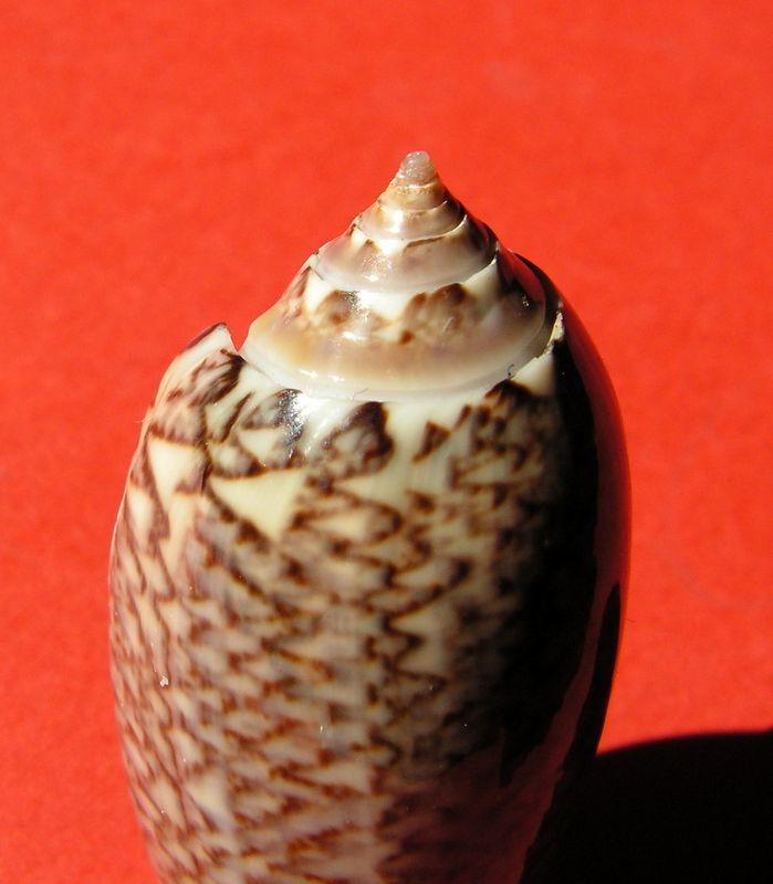 Americoliva violacea (Marrat, 1867) Oliviola_0