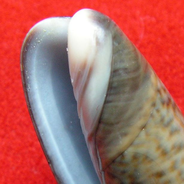 Viduoliva elegans (Lamarck, 1811) Oliveleg12