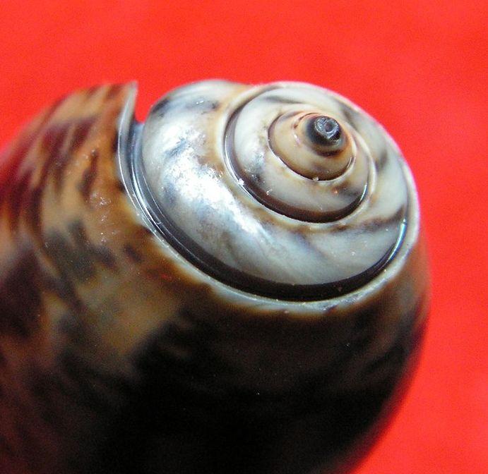 Viduoliva elegans (Lamarck, 1811) Oliveleg13