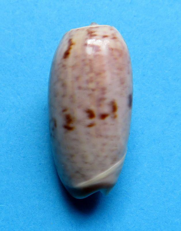 Viduoliva neostina (Duclos, 1840) Olineost12