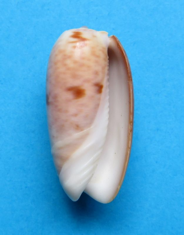 Viduoliva neostina (Duclos, 1840) Olineost13