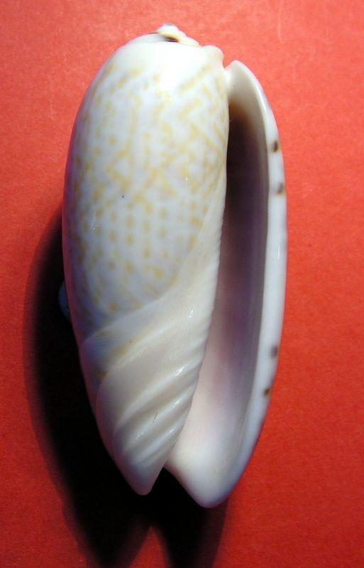 Viduoliva tricolor f. philanta (Duclos, 1835) Olitriphi12