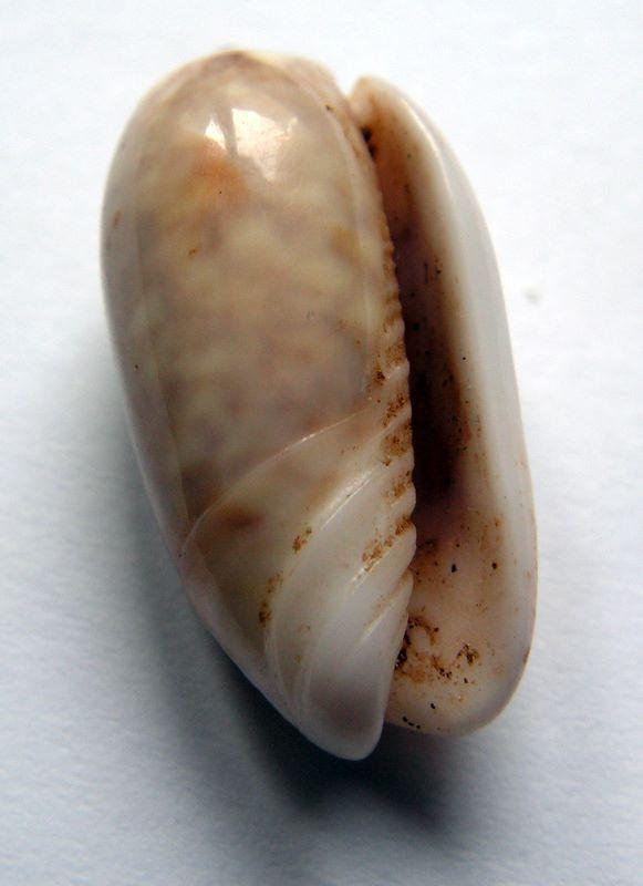 Galeola carneola f. adspersa (Dautzenberg, 1927) voir Galeola carneola (Gmelin, 1791) Olicarads10