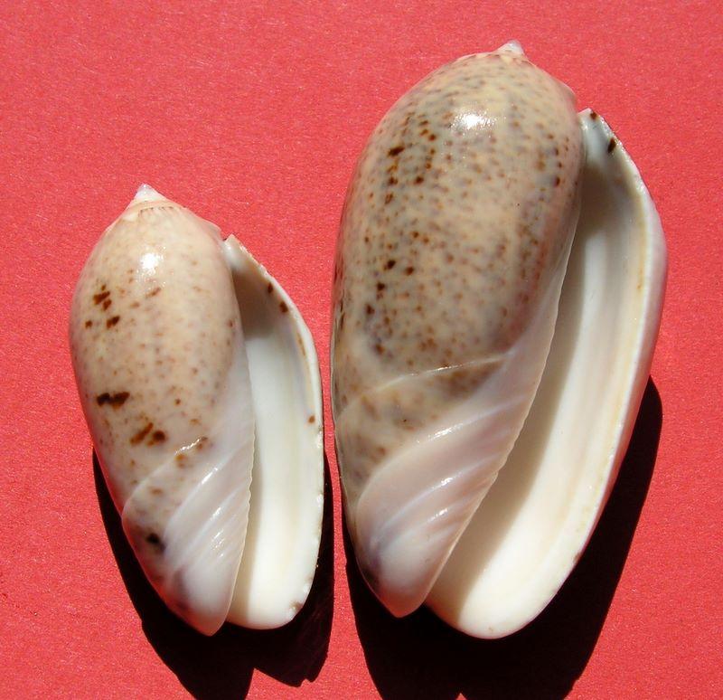 Americoliva incrassata (Lightfoot in Solander, 1786) Olincr11