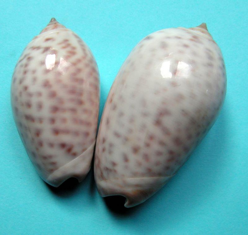 Americoliva peruviana (Lamarck, 1811) Oliper15