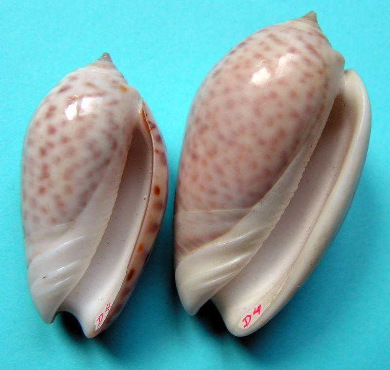 Americoliva peruviana (Lamarck, 1811) Oliper16