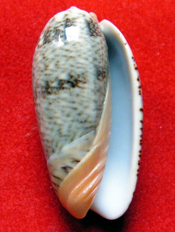 Viduoliva reticulata (Röding, 1798) Olrepng13