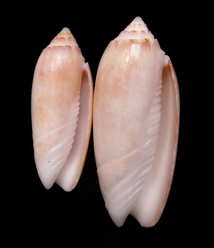 Americoliva sayana f. citrina (Johnson, 1911) voir Americoliva sayana (Ravenel, 1834) Olisaycit23