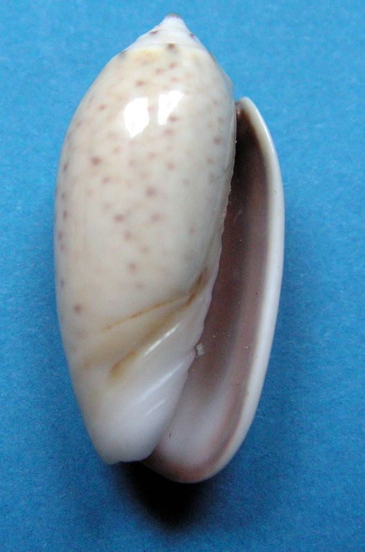Oliva tigridella f. blanda (Marrat, 1867) Olitigdel13