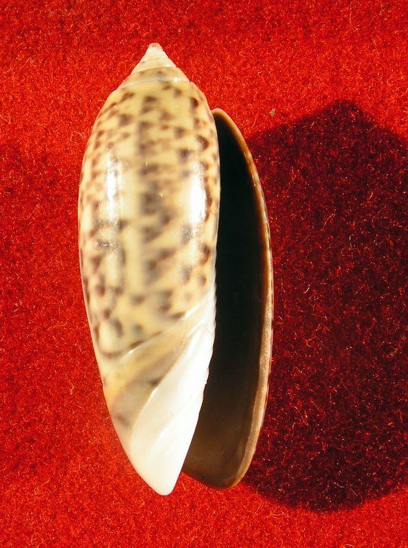 Oliva tigridella (Duclos, 1835) Olitigla13