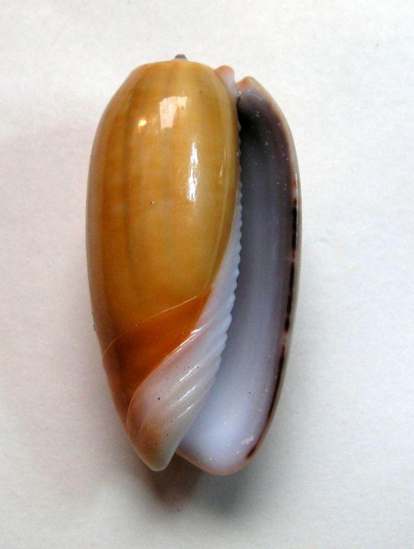 Viduoliva vidua f. aurata (Roding, 1798) Olividuaura12