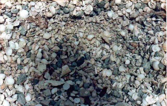 Americoliva reticularis reticularis (Lamarck, 1811) Stmartin05