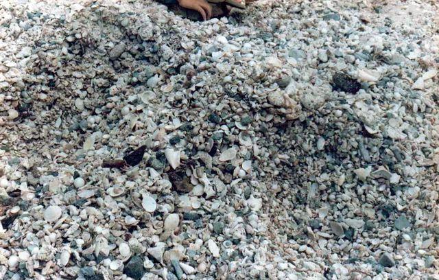Americoliva reticularis reticularis (Lamarck, 1811) Stmartin07