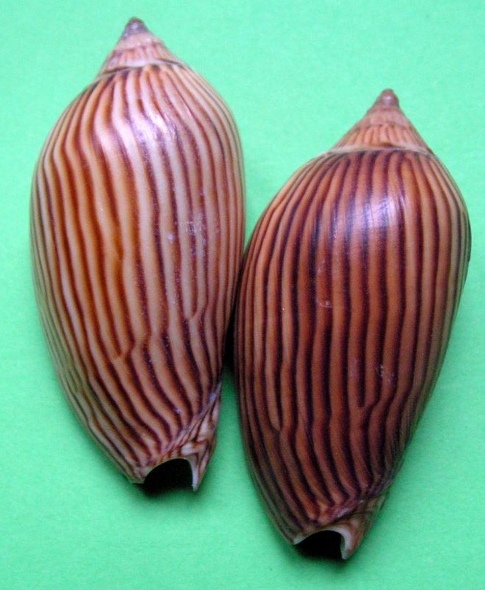 Amoria zebra lineata - Leach, 1814 Amolin10