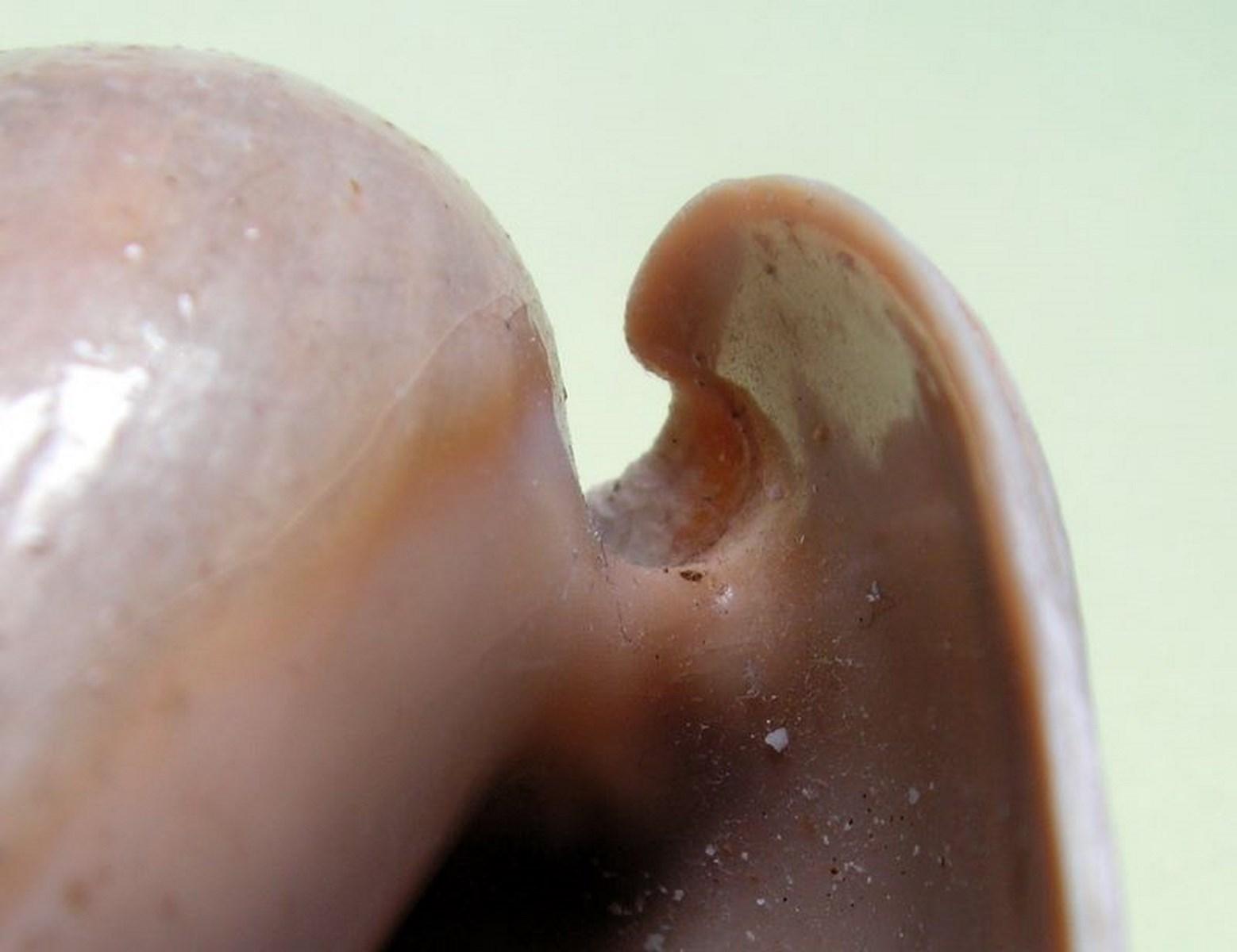 Cymbium cucumis - Röding, 1798 Cymcuc13