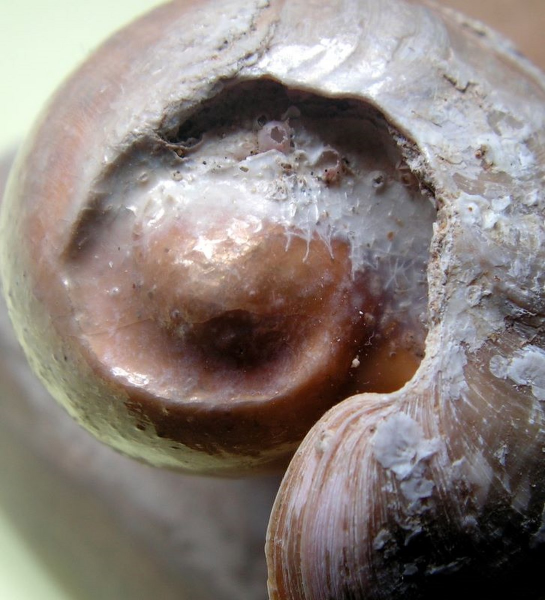 Cymbium cucumis - Röding, 1798 Cymcuc18
