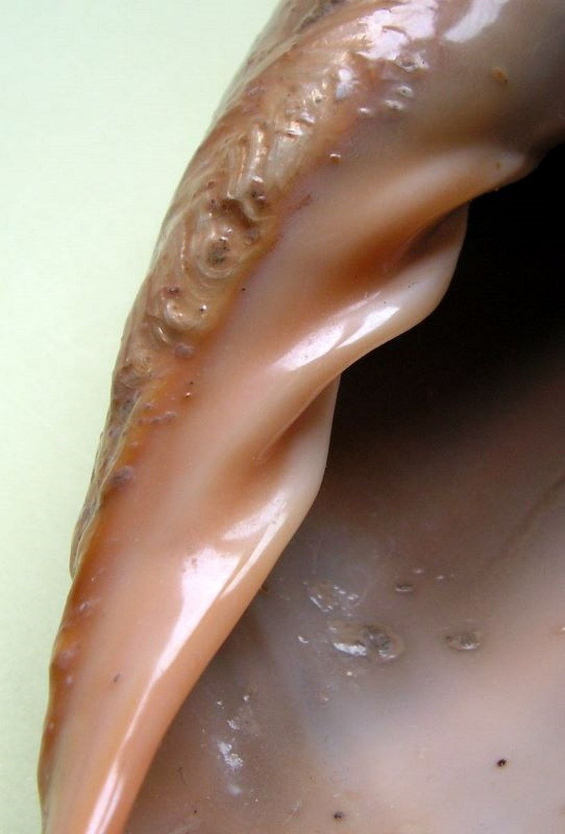 Cymbium cucumis - Röding, 1798 Cymcuc19