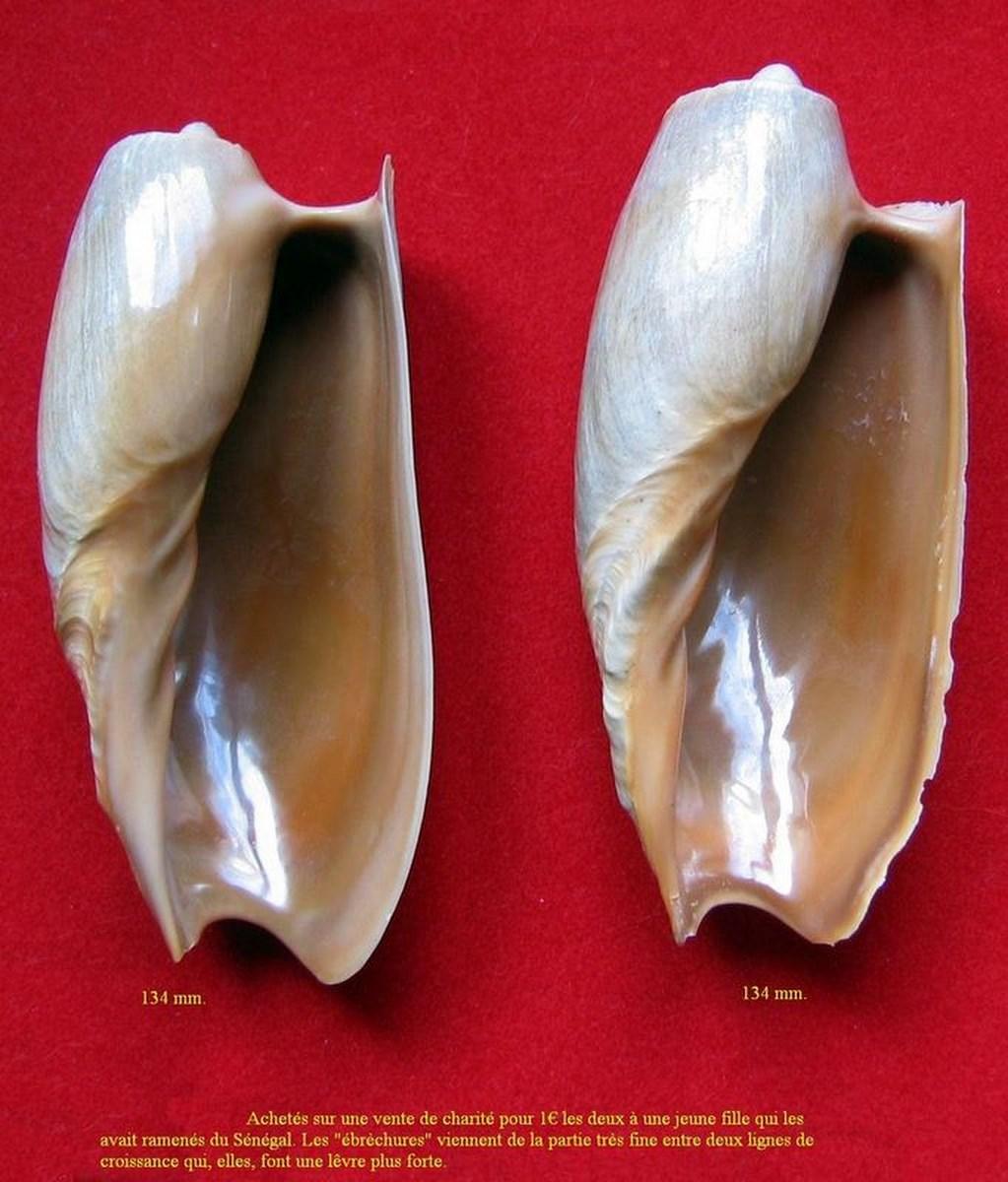 Cymbium cymbium - (Linnaeus, 1758) Cymcym13