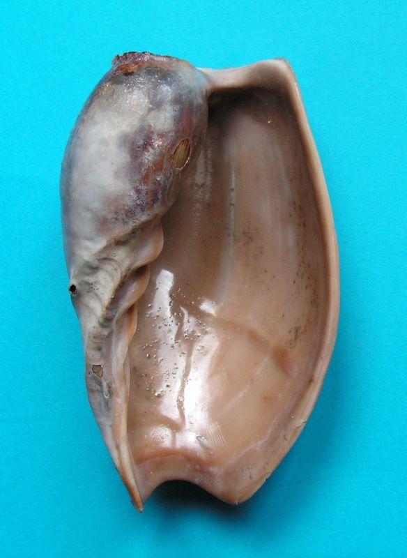 Cymbium pachyus - (Pallary 1930) Cymbpach13