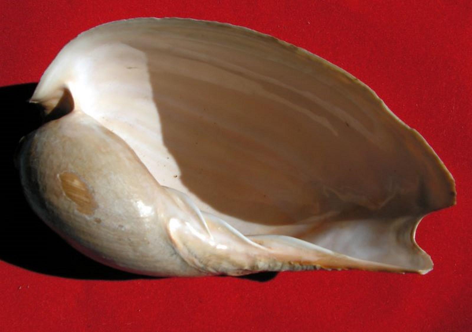Cymbium senegalensis - Marche-Marchad, 1978 Cymsen14