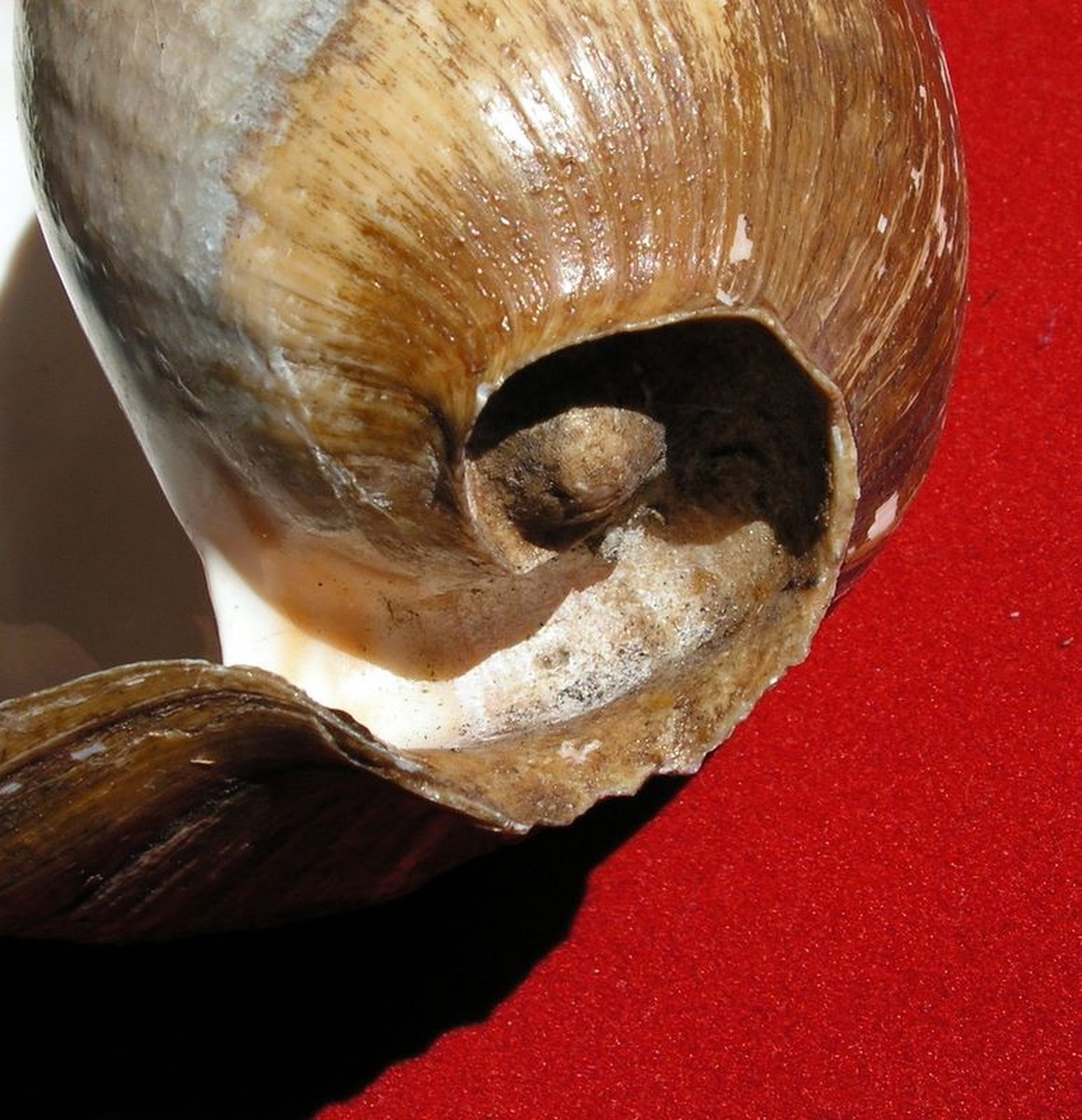 Cymbium senegalensis - Marche-Marchad, 1978 Cymsen17