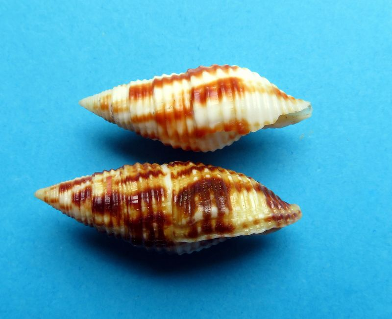 Mitra (Nebularia) ferruginea Lamarck, 1811 Mitrcont10