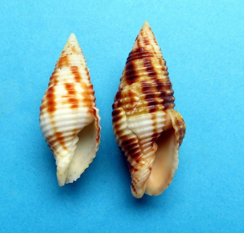 Mitra (Nebularia) ferruginea Lamarck, 1811 Mitrcont12