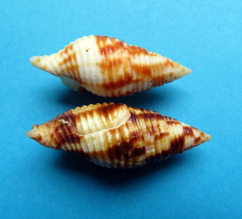 Mitra (Nebularia) ferruginea Lamarck, 1811 Mitrcont13