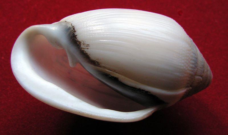 Ellobium aurismidae (Linné, 1758) Ellaur16
