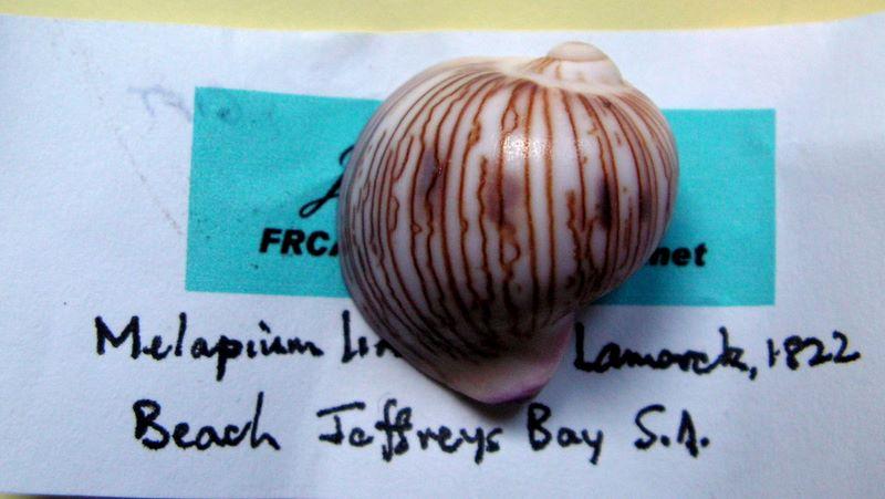 Strepsiduridae - Melapium lineatum - (Lamarck, 1822) Mellin12
