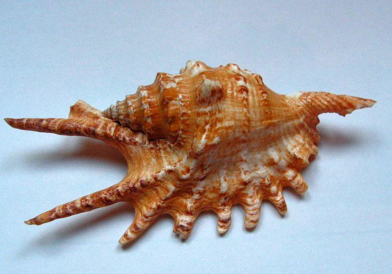 Strombidae Ophioglossolambis digitata - (Perry, 1811)  Lambdigi10