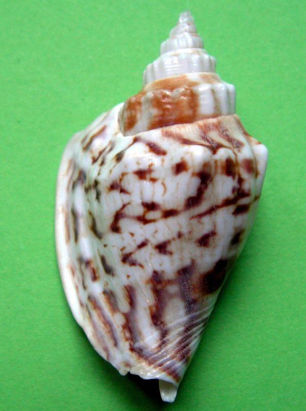 Dolomena variabilis - (Swainson, 1820) Strvar24