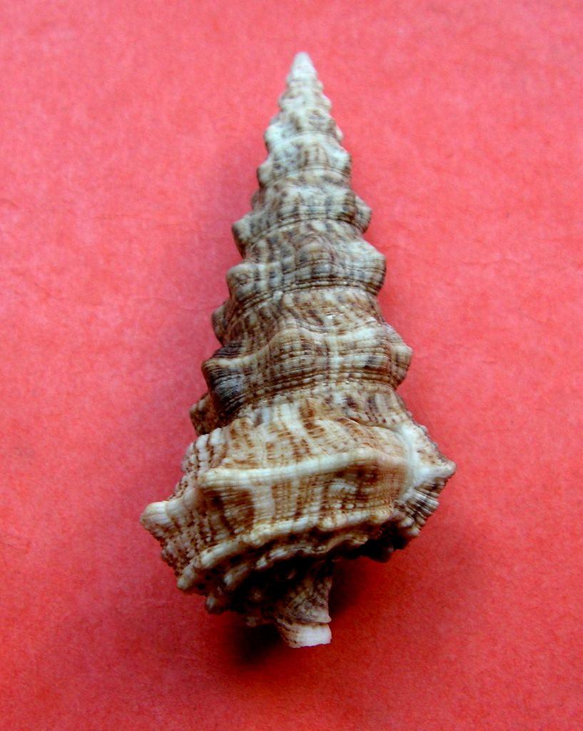 Cerithium nodulosum adansonii - Bruguière, 1792  Cerinodu11